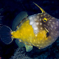 Spotted Filefish by Jean Noren