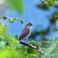 Spotted Flycatcher Muscicapa Striata .  by Oksana Ariskina