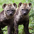 Spotted Hyena Cubs I by Nick Biemans