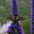Spotted Moth On Purple Flowers by Bruce Chevillat