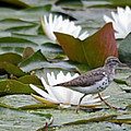 Spotted Sandpiper And Lilies by Whispering Peaks Photography