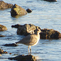 Spotted Sandpiper Keeping Sentry On The Bay by Andrea Freeman