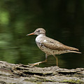Spotted Sandpiper by Paul Rebmann