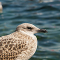 Spotted Seagull by Bob Phillips