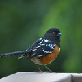 Spotted Towhee by Linda Dunn