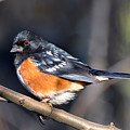 Spotted Towhee Portrait by Kathleen Bishop