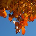 Spray Of Autumn Leaves  by Bill Driscoll
