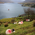 Spray Painted Sheep Ireland by Pierre Leclerc Photography