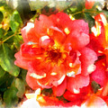 Spread Petals Of A Red Rose by Ashish Agarwal