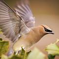 Spread Your Wings Cedar Waxwing  by Terry DeLuco