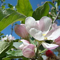 Spring Apple Blossoms Pink White Apple Trees Baslee Troutman by Baslee Troutman