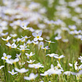 Spring Beauties by Holly Ross