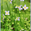 Spring Beauties by Shari Jardina