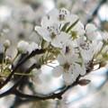 Spring Beauty by Linda Benoit
