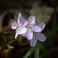 Spring Beauty Macro by Michael Dougherty