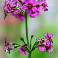 spring Beauty by Stewart Helberg