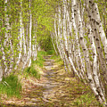 Spring Birch by Susan Cole Kelly