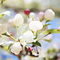 Spring Blooms by Sylvia Coomes