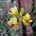 Spring Blooms Yellow Red 052814a by Edward Dobosh