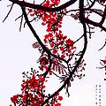 Spring Blossom In Maldives. Flamboyant Tree by Jenny Rainbow