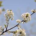 Spring Blossom by Gwen Allen