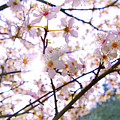 Spring Blossom by Helen White