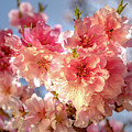 Spring Blossoms by Ao Images