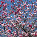 Spring Blossoms Against Blue Sky by Carol Groenen