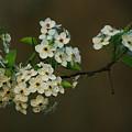 Spring Blossoms by Jenny Gandert