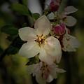 Spring Blossoms by Karen Harrison