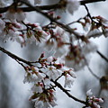 Spring Blosssoms by Trudi Southerland