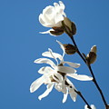 Spring Blue Sky Floral Art Print White Magnolia Tree Baslee Troutman by Baslee Troutman