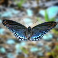White Admiral Or Red-spotted Purple by Lynn Wilson