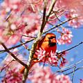 Spring Cardinal by Rachel Morrison