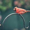 Spring Cardinal by Viviana  Nadowski