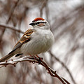 Spring Chipping Sparrow by Debbie Oppermann