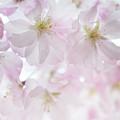 Spring Chorus by Jenny Rainbow