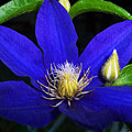 Spring Clematis by Terry Anderson