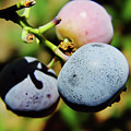 Spring - Colors - Blueberries by D Hackett