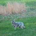 Spring Coyote  by Neal Eslinger