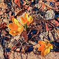 Spring Crocus Flower by Jim Thomas