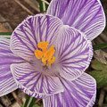 Spring Crocus by Michael Peychich