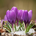Spring Crocus by Mircea Costina Photography