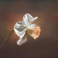 Spring Daffodil by Kim Hojnacki