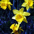 Spring Daffodills by Tiffany Vest