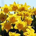 Spring Daffodils by Julia Gavin