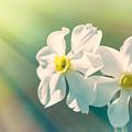Spring Daffodils by Larysa Koryakina