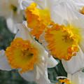 Spring Daffodils by Linda Sramek