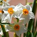 Spring Daffodils by Maria Urso