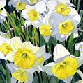 Spring- Daffodils by Swati Singh